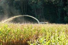 Kukurydzana uprawa przynosi wewnątrz Zdjęcie Royalty Free