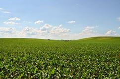 Kukurydzana ziemia uprawna Obraz Royalty Free