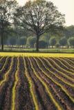 kukurydzana ziemia uprawna zasadza potomstwa Zdjęcia Stock