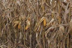 Kukurydzane kukurydz rośliny na polu fotografia stock