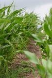 kukurydzane roślin zdjęcia stock
