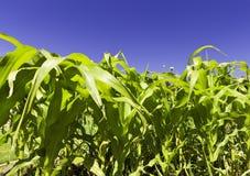 kukurydzane rośliny Zdjęcia Royalty Free