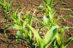 Kukurydzane rośliny od organicznie uprawiać ziemię w Włochy Zdjęcie Royalty Free