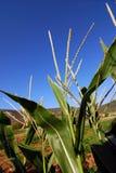 kukurydzane roślin Obrazy Royalty Free