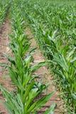 kukurydzane roślin Fotografia Royalty Free