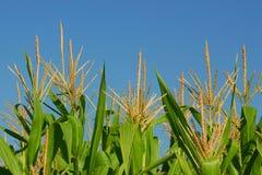 kukurydzane roślin Zdjęcia Royalty Free