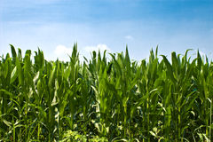 kukurydzane roślin Obrazy Stock