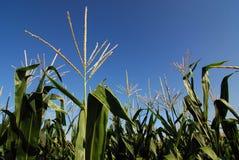 Kukurydzane rośliny obraz stock