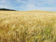 kukurydzanego pola kolor żółty zdjęcia royalty free