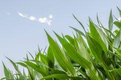 Kukurydzanego pola szczegół Zdjęcia Stock