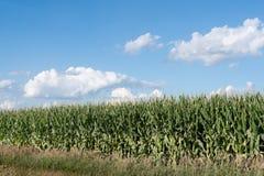 Kukurydzanego pola tło zdjęcie stock