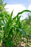 Kukurydzanego pola zakończenie Obraz Royalty Free