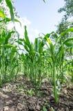 Kukurydzanego pola zakończenie Obrazy Stock