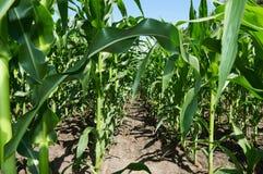kukurydzanego pola zieleń zdjęcia stock