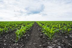 kukurydzanego pola zieleń Zdjęcia Royalty Free