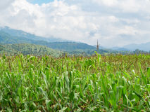 kukurydzanego pola zieleń Obrazy Royalty Free