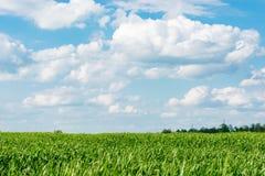Kukurydzanego pola zielonej trawy niebieskiego nieba chmury chmurny krajobraz Zdjęcia Royalty Free