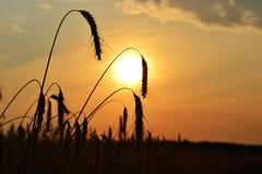 kukurydzanego pola zmierzch Fotografia Royalty Free