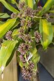 Kukurydzanej rośliny badyl Nieotwarci kwiatów pączki obraz stock