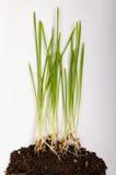 Kukurydzanej rośliny dorośnięcie od ziarna rozsada odizolowywająca Zdjęcie Stock