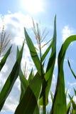 Kukurydzanej rośliny dorośnięcie W lata słońcu Zdjęcie Stock