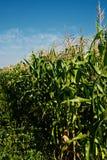 kukurydzani badyle Obrazy Royalty Free