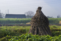 kukurydzani badyle Obrazy Stock