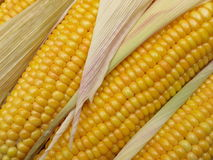 Kukurydzani cobs zdjęcia stock