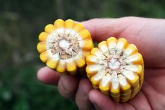 Kukurydzani cobs w ręce rolnik Obraz Royalty Free
