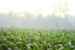 Kukurydzani drzewa w polu podczas ranku w Jawa, Indonezja obrazy stock