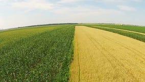 Kukurydzani i pszeniczni pola powietrzni zbiory wideo