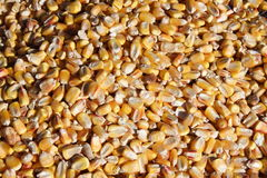 kukurydzani nasiona Zdjęcia Royalty Free