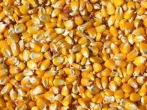 Kukurydzani nasiona Zdjęcia Stock