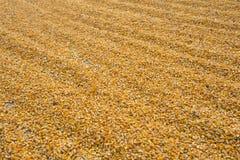 Kukurydzani nasiona Obrazy Royalty Free