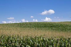 kukurydzani pola Obrazy Royalty Free