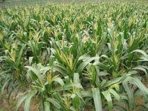 Kukurydzani pola Obrazy Stock