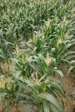 Kukurydzani pola Zdjęcie Stock