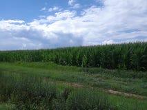 Kukurydzani pola pod jaskrawym błękitnym chmurnym niebem 2 zdjęcia royalty free