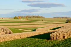 Kukurydzani pola w spadku obraz royalty free