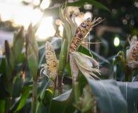 Kukurydzani pola z zamazanym i jaskrawym tłem obraz royalty free