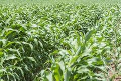 kukurydzani potomstwa Zdjęcia Stock