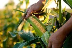 kukurydzani potomstwa Fotografia Stock