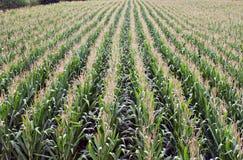 kukurydzani rzędy obrazy royalty free