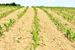 kukurydzani rzędy obraz royalty free