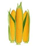 Kukurydzani ucho Fotografia Stock