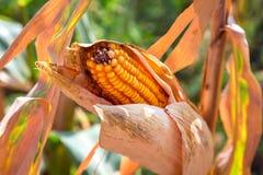 Kukurydzani ucho zbożowe uprawy Obrazy Royalty Free