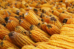 kukurydzani udziały Fotografia Stock