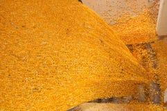 kukurydzani udziały Zdjęcie Royalty Free