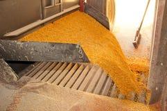 kukurydzani udziały Zdjęcie Stock