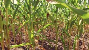Kukurydzany śródpolnej kukurudzy gospodarstwa rolnego steadicam zielonej trawy rolnictwo jednoczący twierdzi natury wideo usa upr zbiory